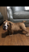 Bulldog Puppy For Sale near 06512, East Haven, CT, USA