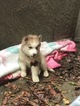 Siberian Husky Puppy For Sale in GOLD RIVER, CA, USA