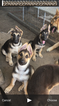 German Shepherd Dog Puppy For Sale in BRIGGS, TX, USA