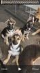 German Shepherd Dog Puppy For Sale in BRIGGS, TX, USA