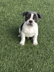 French Bulldog Puppy for sale in PEYTON, CO, USA
