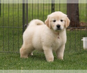 Golden Retriever Puppy for Sale in NUNN, Colorado USA