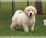 Golden Retriever Puppy For Sale in NUNN, CO, USA