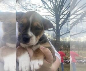 English Bulldog-Rat Terrier Mix Puppy for Sale in LEBANON, Missouri USA
