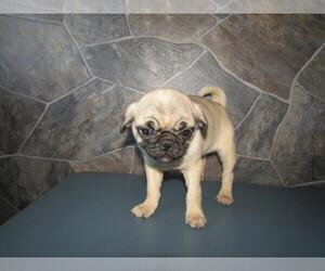 Pug Puppy for sale in STURGIS, MI, USA