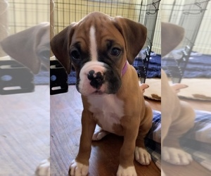 Boxer Puppy for Sale in EAST FISHKILL, New York USA