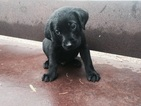Puppy 3 Labrador Retriever