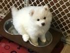 Pomsky Puppy For Sale in ATTLEBORO, MA, USA