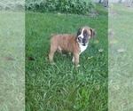 Puppy 0 Boxer