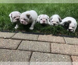 Bulldog Puppy for sale in EAST SPARTA, OH, USA