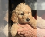 Goldendoodle Puppy For Sale in OPELIKA, AL, USA