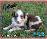 Falcon Toy or Small Mini Red Merle Male Aussie