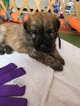 Bouvier Des Flandres Puppy For Sale in Fernie, British Columbia, Canada
