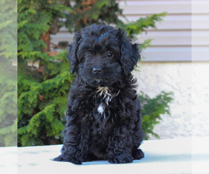 Cocker Spaniel-Poodle (Miniature) Mix Puppy for sale in HONEY BROOK, PA, USA