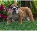 Puppy 8 English Bulldog