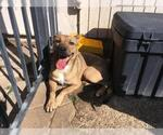 Small Photo #561 Collie-Dogue de Bordeaux Mix Puppy For Sale in Dallas, TX, USA