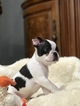 Small #5 Boston Terrier