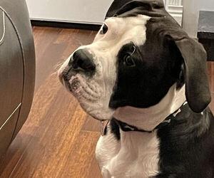 Boxer-English Bulldog Mix Dog for Adoption in GR, Michigan USA
