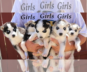 Siberian Husky Puppy for Sale in LAKESIDE, California USA