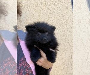 Pomeranian Dog for Adoption in SIERRA VISTA, Arizona USA