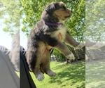 Small #12 Australian Shepherd-German Shepherd Dog Mix