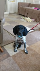 German Shorthaired Pointer Puppy For Sale in SAN JUAN CAPISTRANO, CA