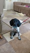 German Shorthaired Pointer Puppy For Sale in SAN JUAN CAPISTRANO, CA,