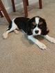 Cavalier King Charles Spaniel Puppy For Sale in COVINGTON, GA,