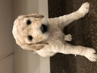 Goldendoodle Puppy For Sale in SAMMAMISH, WA,