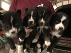Siberian Husky Puppy For Sale in GOSHEN, IN, USA