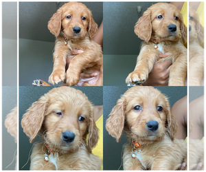 Golden Retriever-Goldendoodle Mix Puppy for Sale in ORLANDO, Florida USA