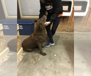 Mother of the Chesapeake Bay Retriever puppies born on 06/01/2019