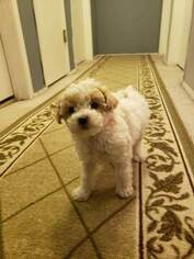 Poodle (Toy) Puppy for sale in OLATHE, KS, USA
