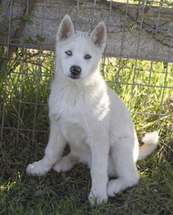 Siberian Husky Puppy For Sale in OAKDALE, CA