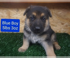 German Shepherd Dog Puppy for sale in BENSON, NC, USA