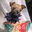 Small #5 Chihuahua