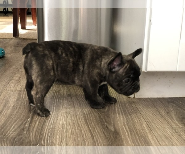 Medium Photo #3 French Bulldog Puppy For Sale in HOLTSVILLE, NY, USA