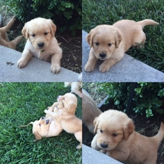 Golden Retriever Puppy For Sale in PETALUMA, CA, USA