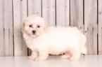 Baxter Male Lhasa Poo