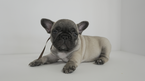 French Bulldog Puppy For Sale in BRISTOW, VA, USA