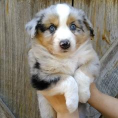 Australian Shepherd Puppy For Sale in GEORGETOWN, TN, USA