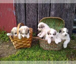 Great Pyrenees Puppy for Sale in VERGENNES, Illinois USA