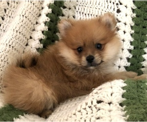 Pomeranian Puppy for sale in SILEX, MO, USA