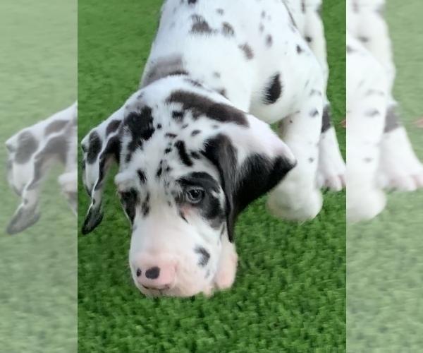Medium Photo #8 Great Dane Puppy For Sale in MARICOPA, AZ, USA
