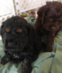 Cocker Spaniel Puppy For Sale in HOBART, IN,