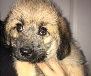 Shepadoodle Puppy for Sale in LODI, California USA