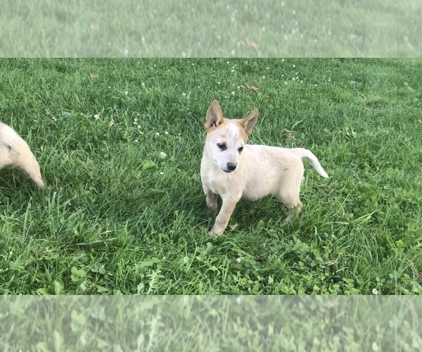 View Ad: Australian Cattle Dog Litter of Puppies for Sale Vermont USA
