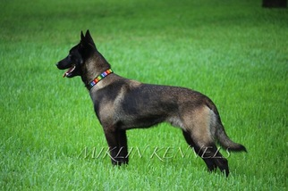 View Ad: Belgian Malinois Litter of Puppies for Sale near ...