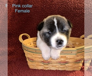 Akita Puppy for sale in BELOIT, WI, USA