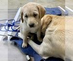 Puppy 1 Borador